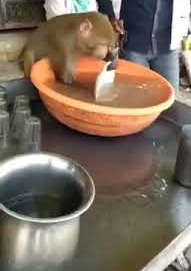 Monkey washing Plate In a tea stall